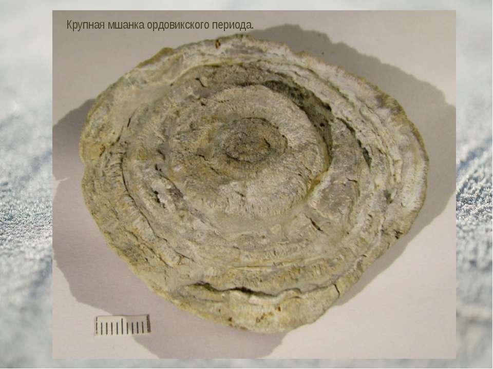 Крупная мшанка ордовикского периода.
