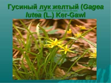 Гусиный лук желтый (Gagea lutea (L.) Ker-Gawl Гусиный лук желтый (Gagea lutea...
