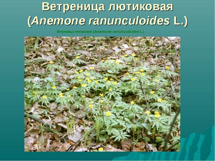 Ветреница лютиковая (Anemone ranunculoides L.) Ветреница лютиковая (Anemone r...