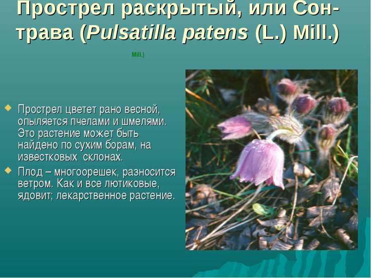 Прострел раскрытый, или Сон-трава (Pulsatilla patens (L.) Mill.) Прострел цве...