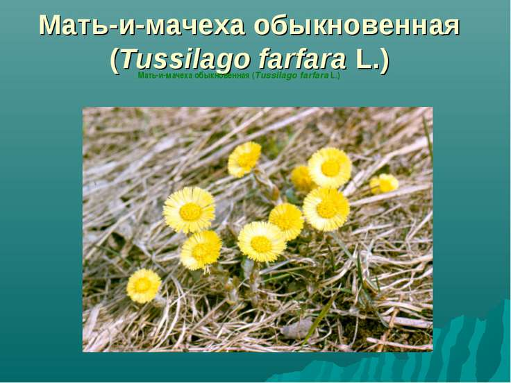 Мать-и-мачеха обыкновенная (Tussilago farfara L.) Мать-и-мачеха обыкновенная ...
