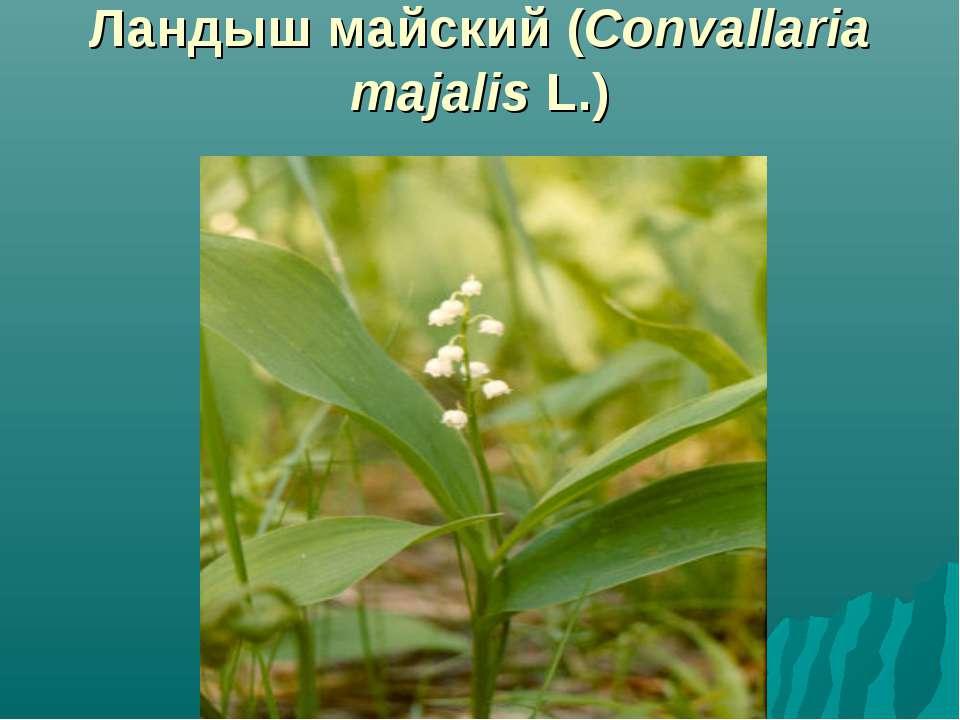 Ландыш майский (Convallaria majalis L.)