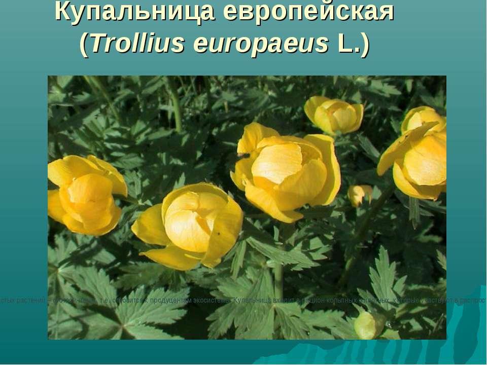 Купальница европейская (Trollius europaeus L.) Купальница европейская (Trolli...