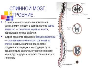 СПИННОЙ МОЗГ. СТРОЕНИЕ. В центре его проходит спинномозговой канал, вокруг ко...