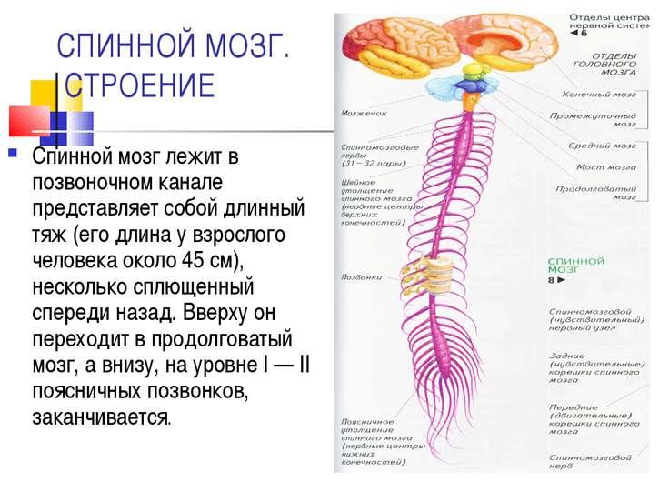 СПИННОЙ МОЗГ. СТРОЕНИЕ Спинной мозг лежит в позвоночном канале представляет с...