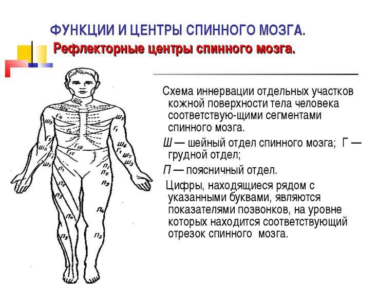 ФУНКЦИИ И ЦЕНТРЫ СПИННОГО МОЗГА. Рефлекторные центры спинного мозга. Схема ин...
