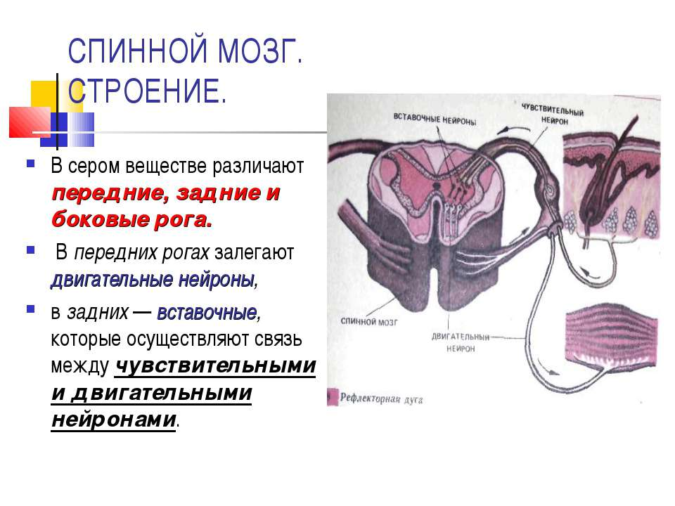 СПИННОЙ МОЗГ. СТРОЕНИЕ. В сером веществе различают передние, задние и боковые...
