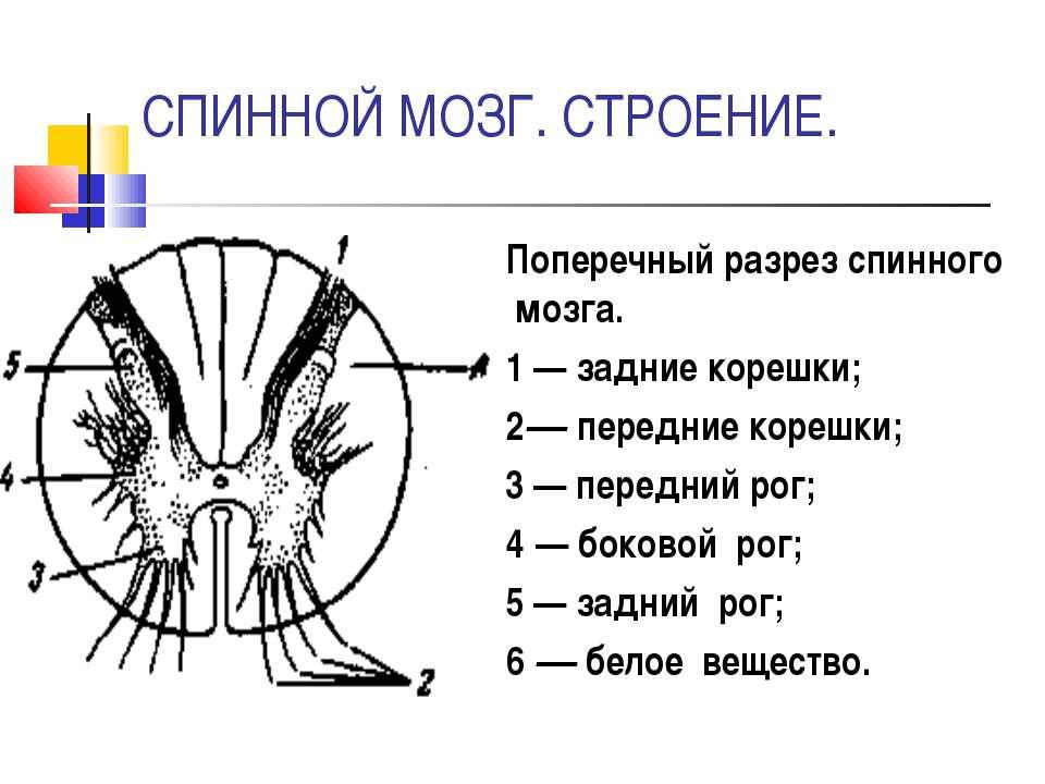 СПИННОЙ МОЗГ. СТРОЕНИЕ. Поперечный разрез спинного мозга. 1 — задние корешки;...