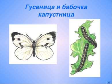 Гусеница и бабочка капустница