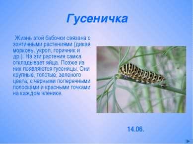 Гусеничка Жизнь этой бабочки связана с зонтичными растениями (дикая морковь, ...