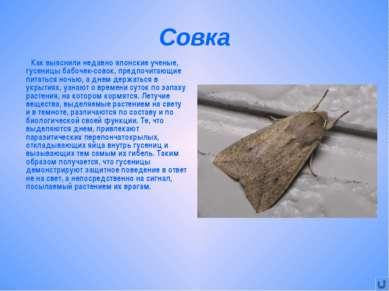 Совка Как выяснили недавно японские ученые, гусеницы бабочек-совок, предпочит...