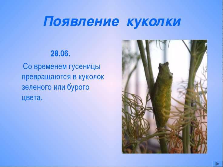 Появление куколки 28.06. Со временем гусеницы превращаются в куколок зеленого...