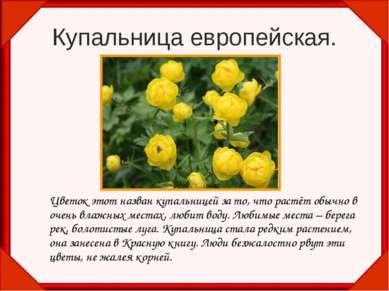 Купальница европейская. Цветок этот назван купальницей за то, что растёт обыч...