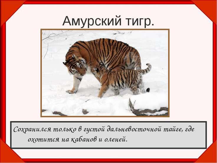 Амурский тигр. Сохранился только в густой дальневосточной тайге, где охотится...