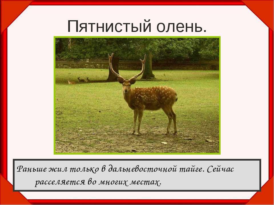 Пятнистый олень. Раньше жил только в дальневосточной тайге. Сейчас расселяетс...