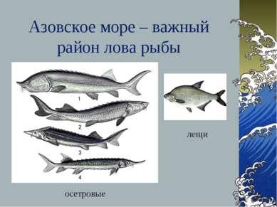 Азовское море – важный район лова рыбы осетровые лещи