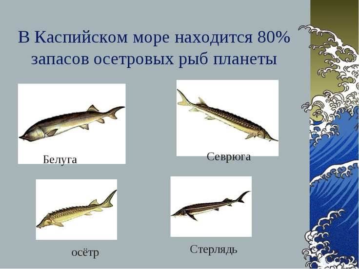В Каспийском море находится 80% запасов осетровых рыб планеты Белуга Севрюга ...