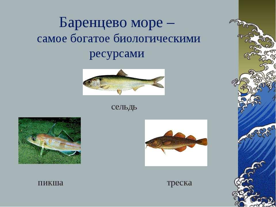 Баренцево море – самое богатое биологическими ресурсами треска сельдь пикша