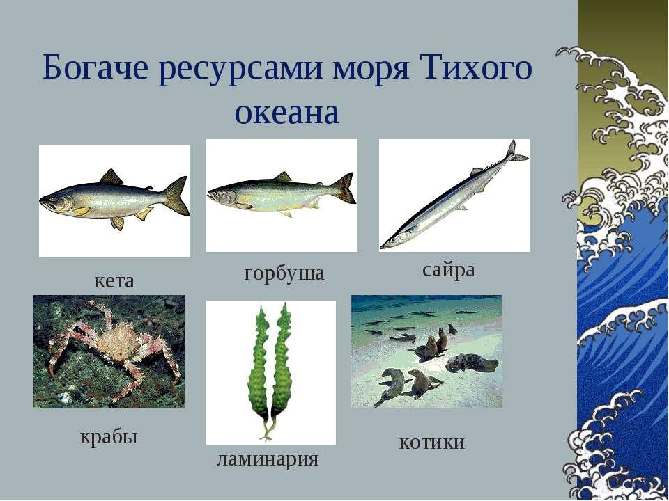 Богаче ресурсами моря Тихого океана кета горбуша сайра крабы ламинария котики