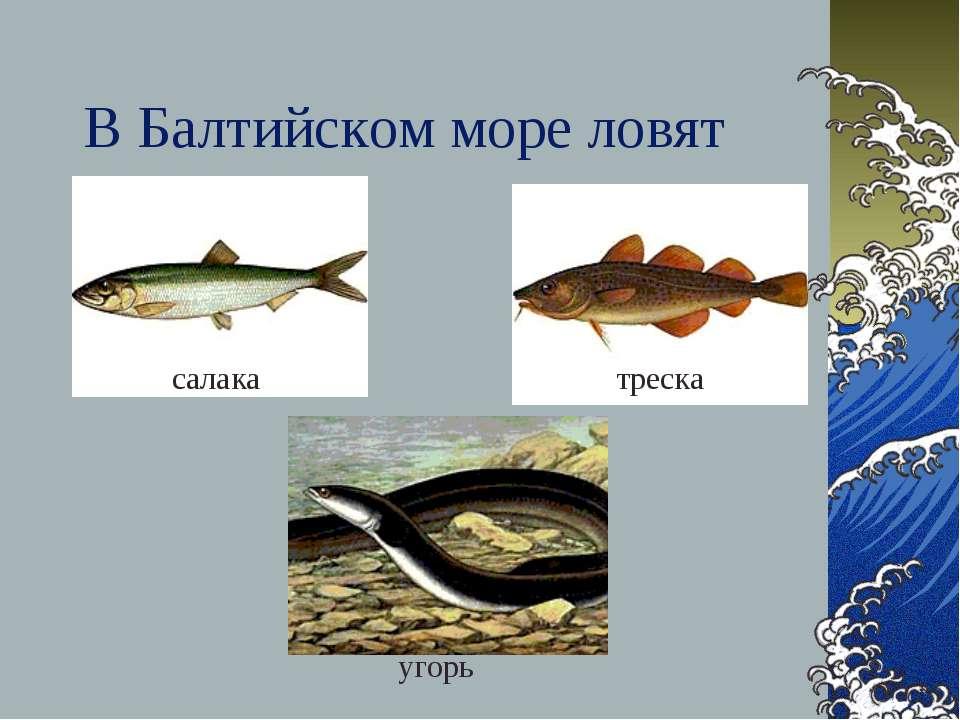 В Балтийском море ловят салака треска угорь