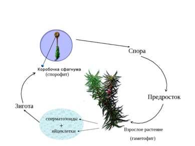 (спорофит) Спора Предросток Взрослое растение (гаметофит) сперматозоиды яйцек...