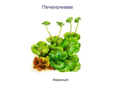 Печеночники Маршанция
