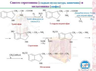 Синтез серотонина (гладкая мускулатура, кишечник) и мелатонина (эпифиз) Трипт...