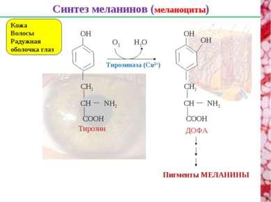 Синтез меланинов (меланоциты) Кожа Волосы Радужная оболочка глаз CH CH2 NH2 C...