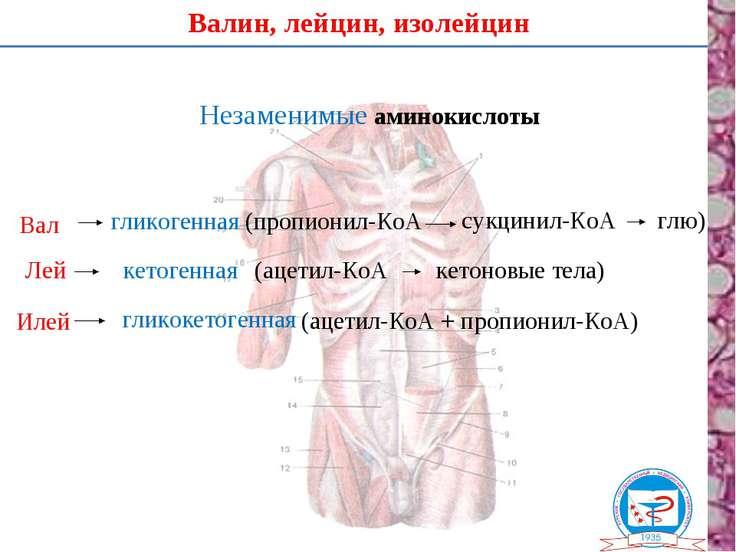 Валин, лейцин, изолейцин Незаменимые аминокислоты Вал Лей Илей гликогенная (п...