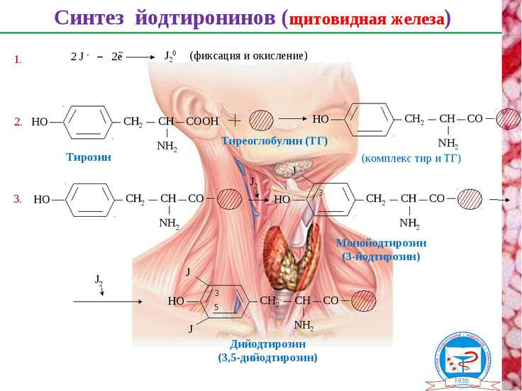Синтез йодтиронинов (щитовидная железа) Тиреоглобулин (ТГ) 2. Тирозин 2 J - 2...