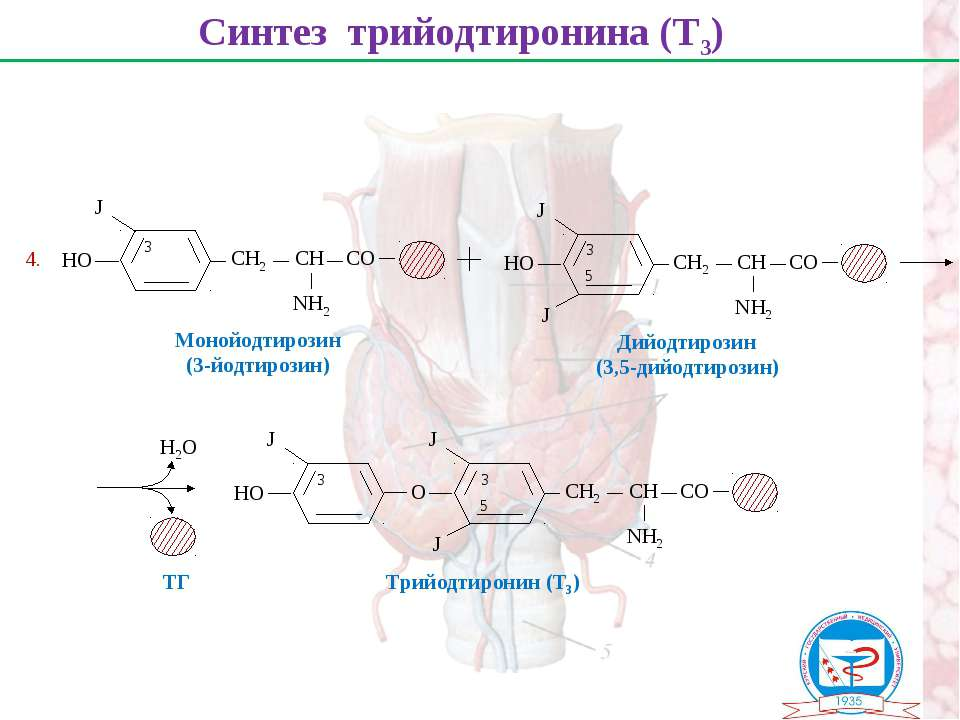 Синтез трийодтиронина (Т3) Монойодтирозин (3-йодтирозин) Дийодтирозин (3,5-ди...
