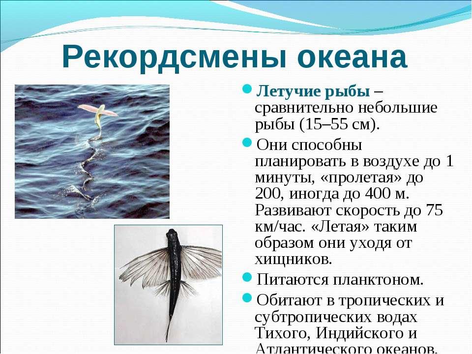 Рекордсмены океана Летучие рыбы – сравнительно небольшие рыбы (15–55 см). Они...