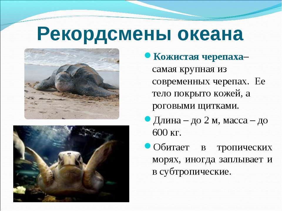 Рекордсмены океана Кожистая черепаха– самая крупная из современных черепах. Е...