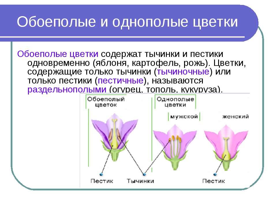 Обоеполые и однополые цветки Обоеполые цветки содержат тычинки и пестики одно...