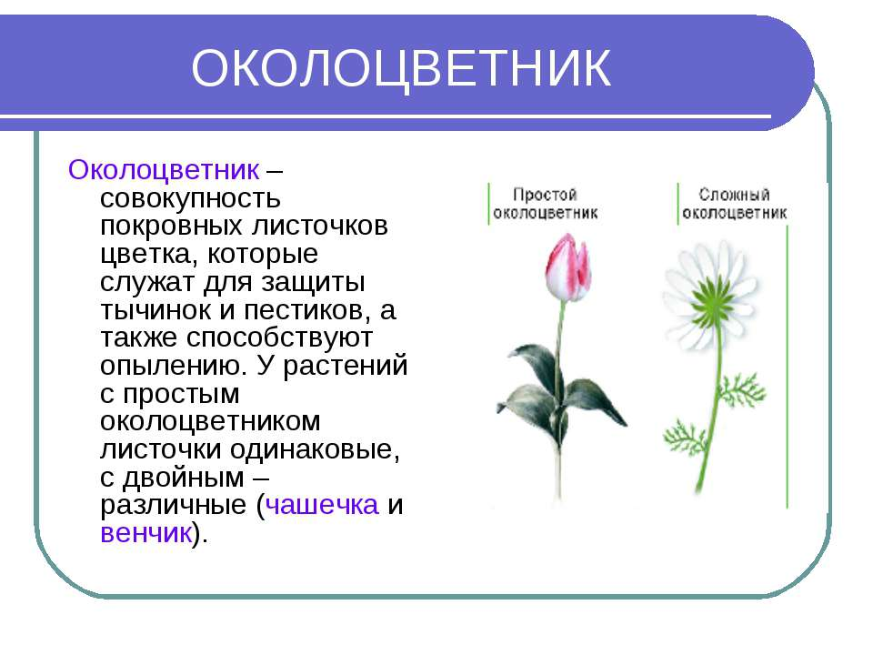 ОКОЛОЦВЕТНИК Околоцветник – совокупность покровных листочков цветка, которые ...