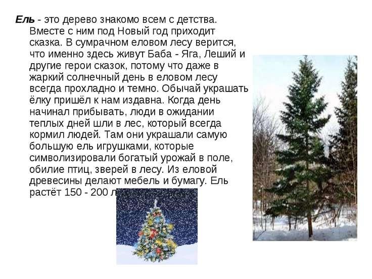 Ель- это дерево знакомо всем с детства. Вместе с ним под Новый год приходит ...