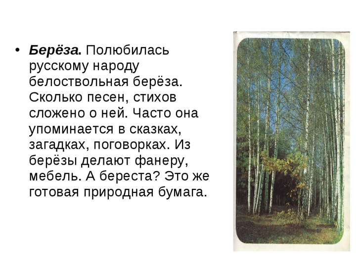 Берёза.Полюбилась русскому народу белоствольная берёза. Сколько песен, стихо...