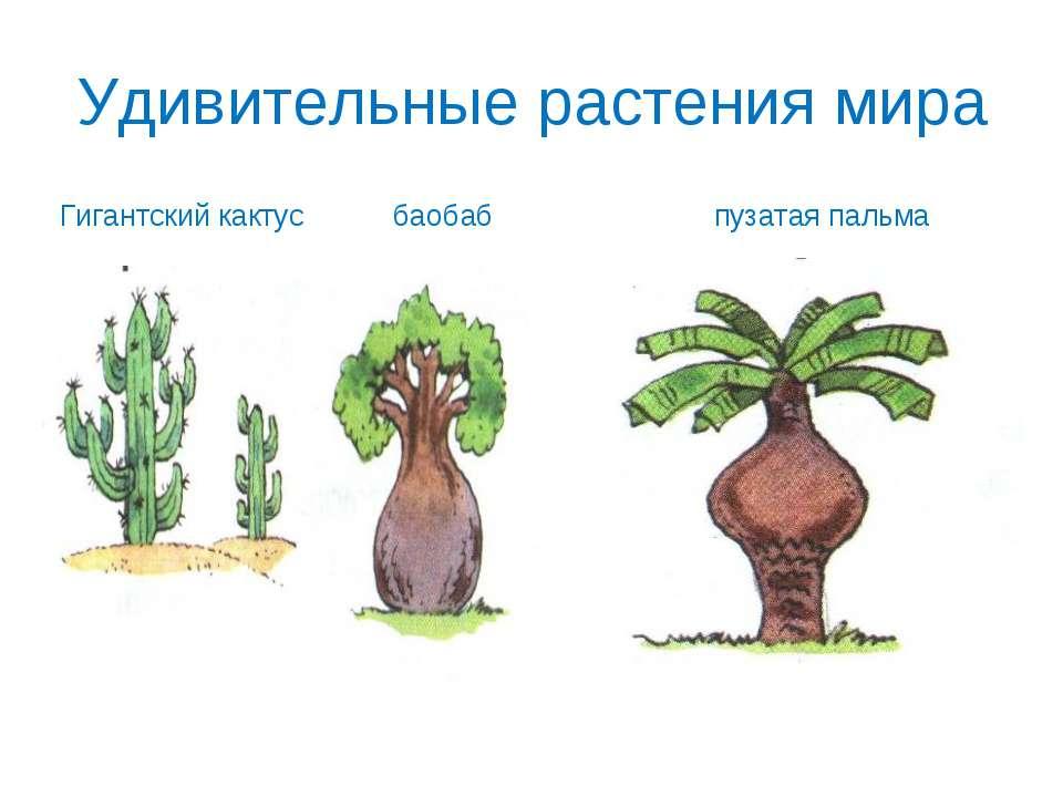 Удивительные растения мира Гигантский кактус баобаб пузатая пальма