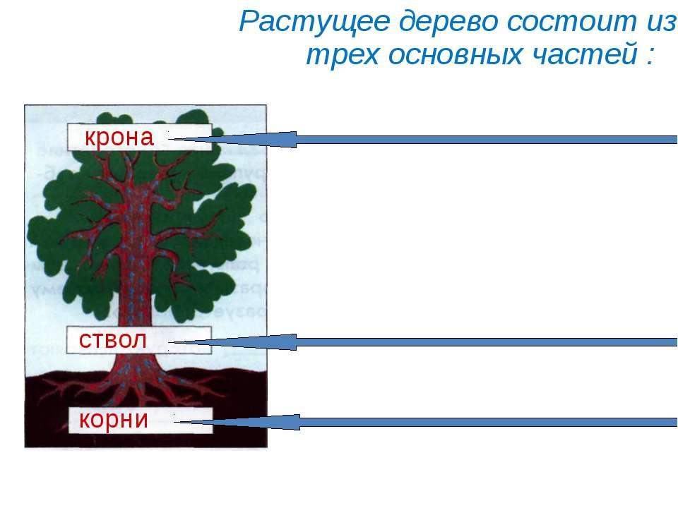 Растущее дерево состоит из трех основных частей : корни ствол крона