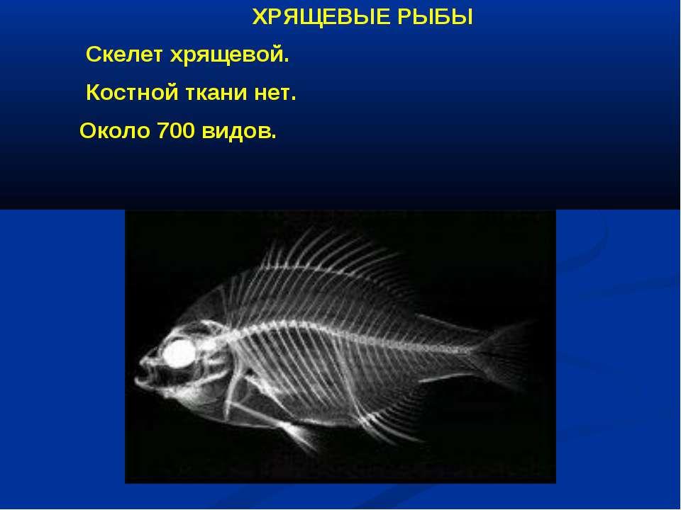 ХРЯЩЕВЫЕ РЫБЫ Скелет хрящевой. Костной ткани нет. Около 700 видов.