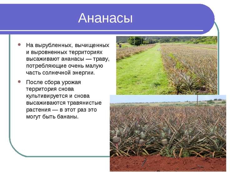 Ананасы На вырубленных, вычищенных и выровненных территориях высаживают анана...