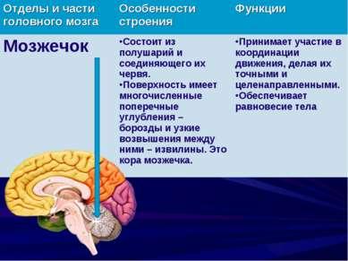 Отделы и части головного мозга Особенности строения Функции Мозжечок Состоит ...