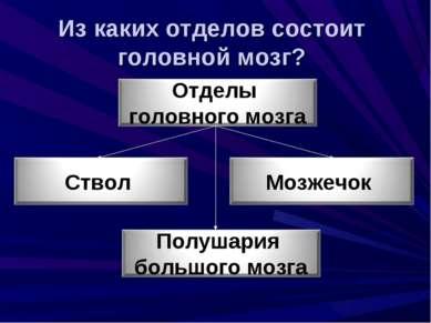 Из каких отделов состоит головной мозг?