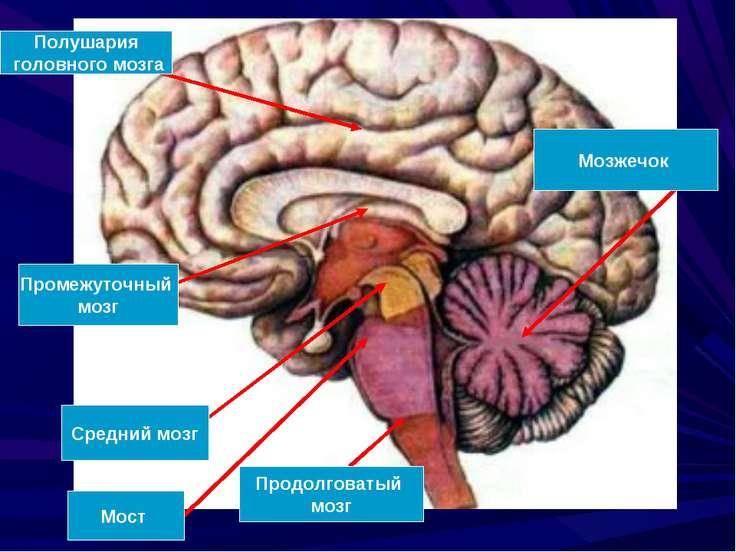 Полушария головного мозга Промежуточный мозг Средний мозг Мост Продолговатый ...