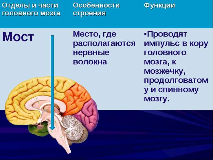 Отделы и части головного мозга Особенности строения Функции Мост Место, где р...