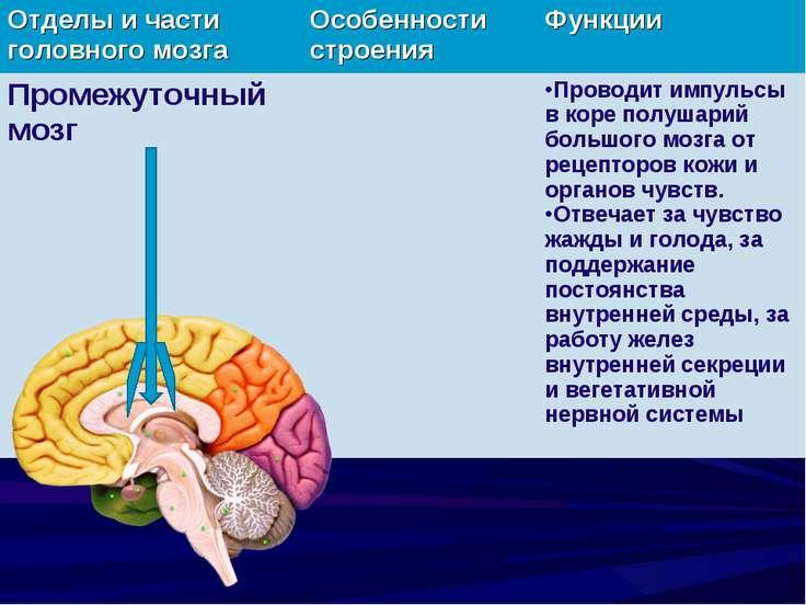 Отделы и части головного мозга Особенности строения Функции Промежуточный моз...