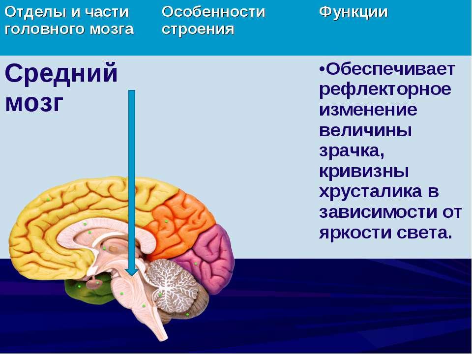 Отделы и части головного мозга Особенности строения Функции Средний мозг Обес...