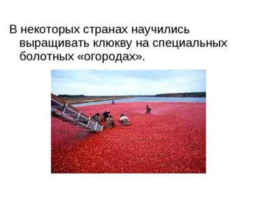 В некоторых странах научились выращивать клюкву на специальных болотных «огор...