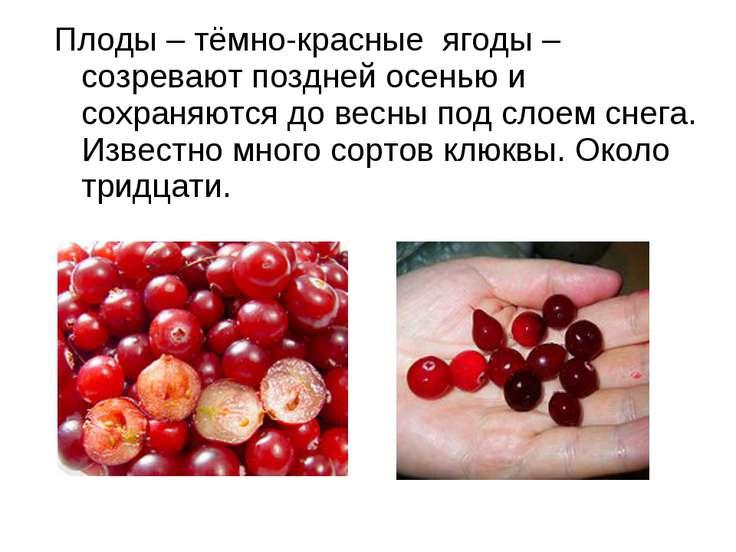 Плоды – тёмно-красные ягоды – созревают поздней осенью и сохраняются до весны...