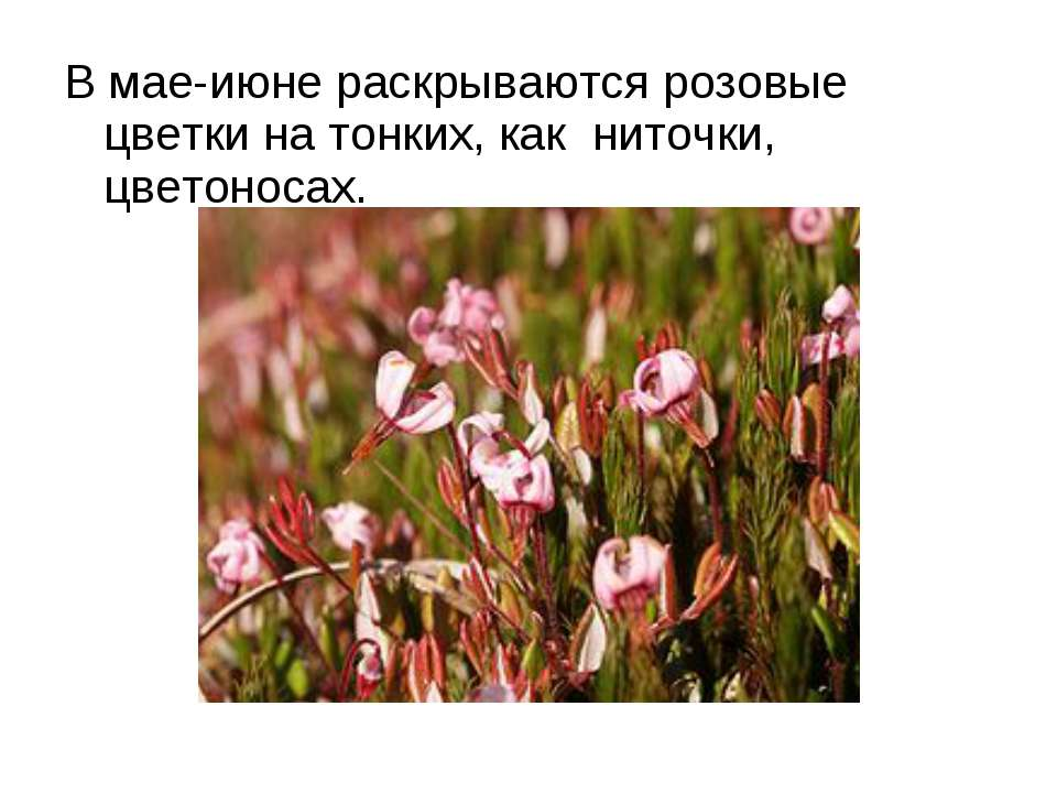 В мае-июне раскрываются розовые цветки на тонких, как ниточки, цветоносах.